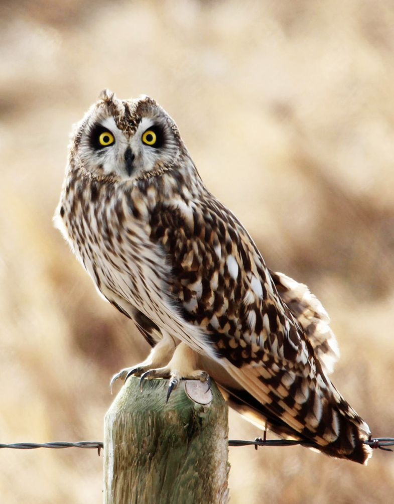 shorteared owl sitting on pole