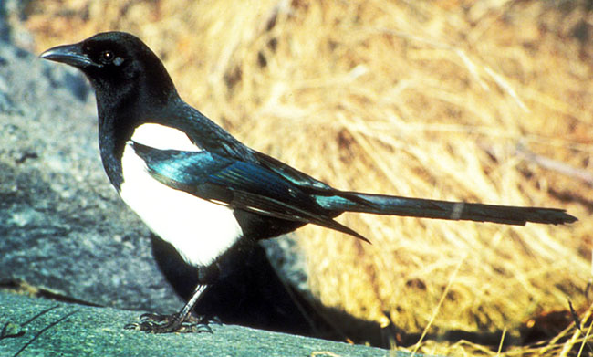 Blackbilled Magpie picture