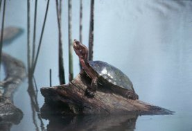 Picture of Western pond turtle