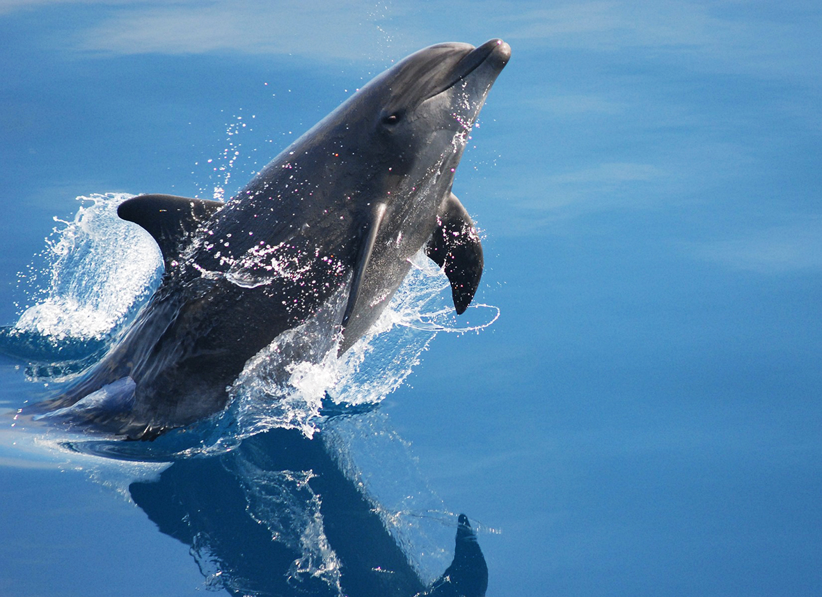 bottlenose dolphin up from water