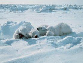 polar bears sleeping