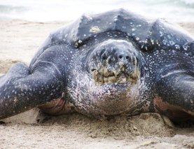 Leatherback turtle close up