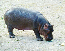 Cute hippo baby