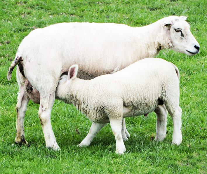 lamb dringking milk