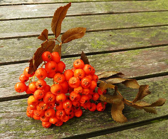 rowan berries in the fall