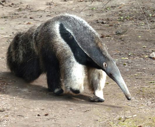 Anteater walking