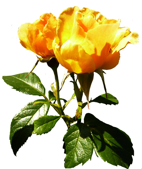 orange rose clipart with stalk and leaves