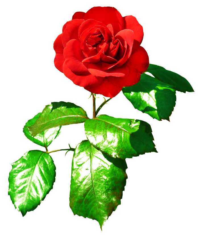 red red rose with leaves