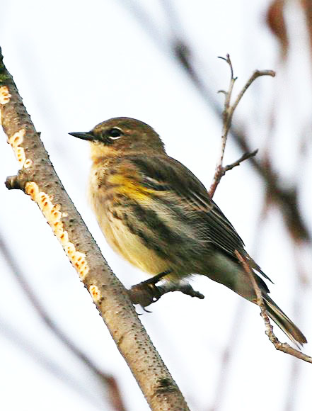 pictures-of-birds-yellow-rumped-Warbler