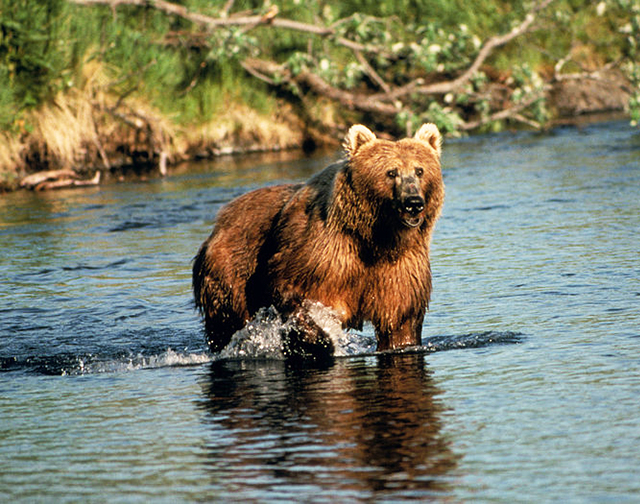 Brown bear in Creek