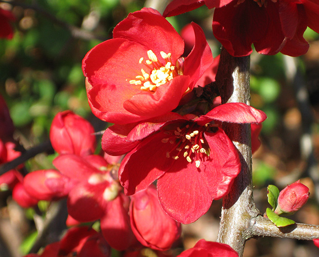 close up of red flowers on branch