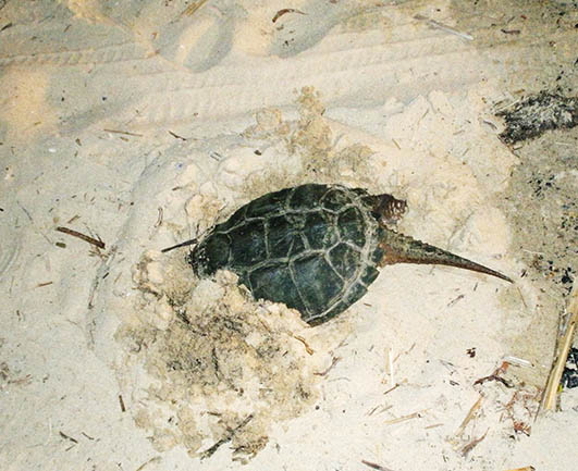 Snapping turtle hiding in sandy beach