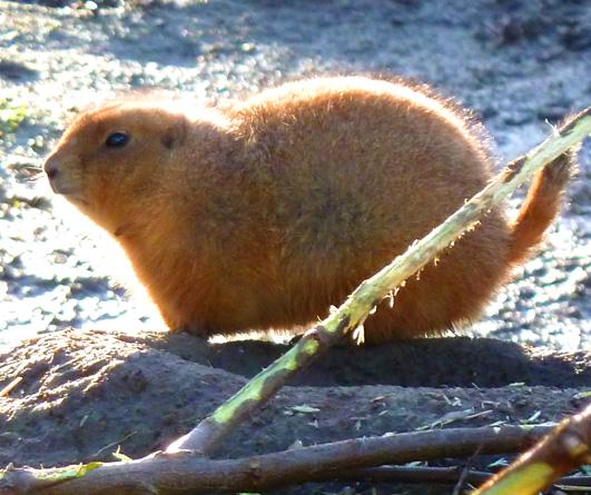 zoo animals prairie dog in sun light