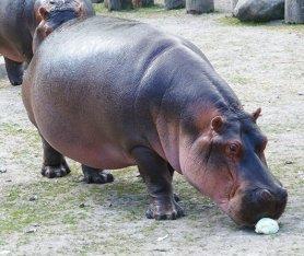 Big and hungry hippopotamus