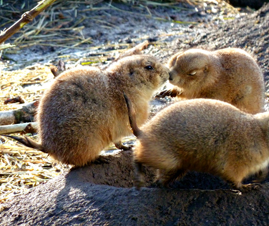 Prairie dogs greeting