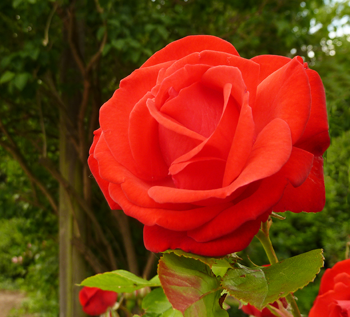 red rose in garden