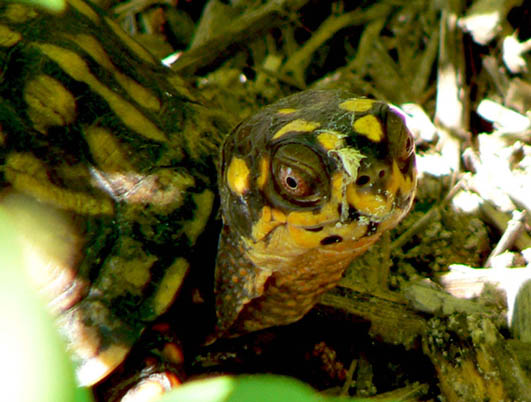 turtle pictures box turtle close up