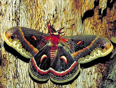 moth Cecropia-moth