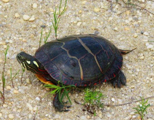 painted-turtle-on-sand