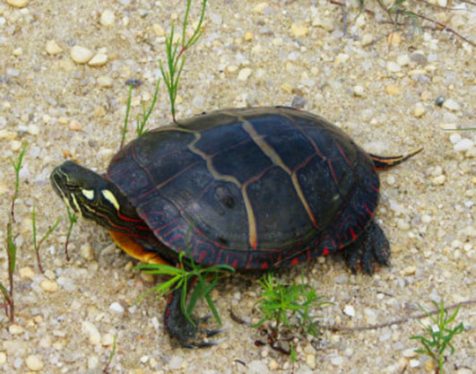 painted-turtle-on-sand