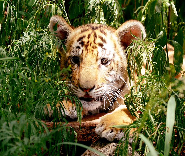 tiger cub hiding in forest