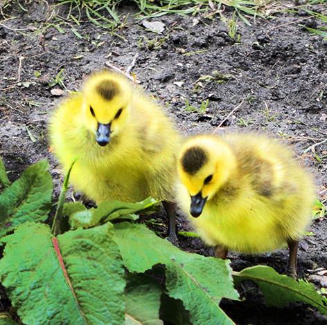 two goslings in spring