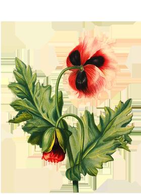 poppy flower transparent background