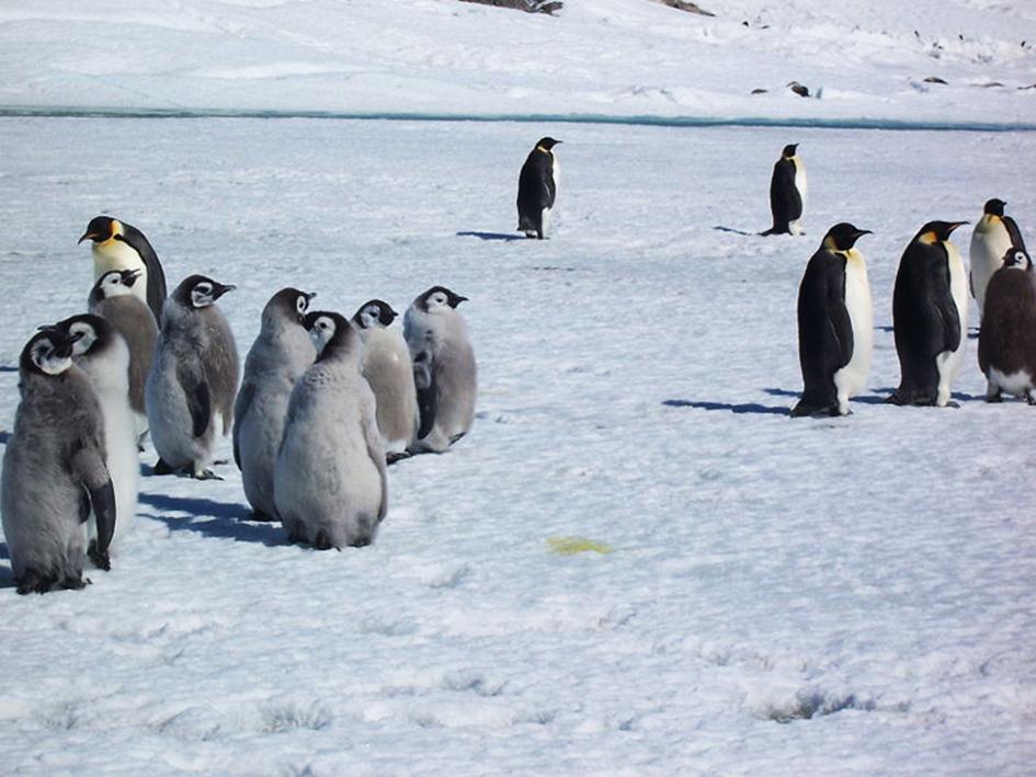 chick of emperor penguins