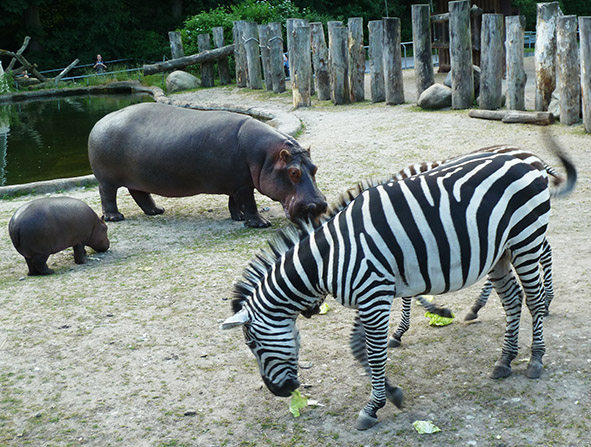 hippo and zebra