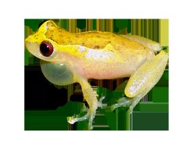 Brazilian coastal tree frog picture