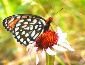 Butterfly images Regal Frittilary