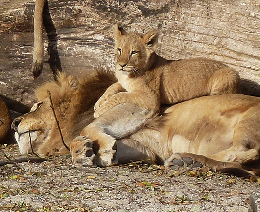 Lion father and cub resting