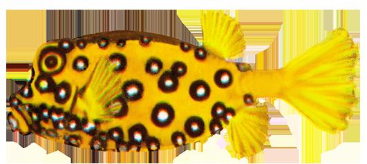 cube boxfish drawing