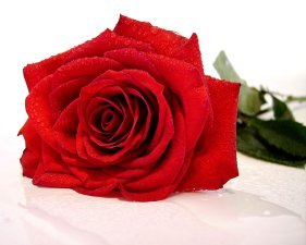 red rose with dew drops