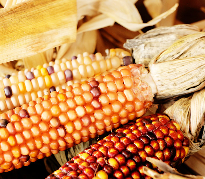 photo of Indian corn