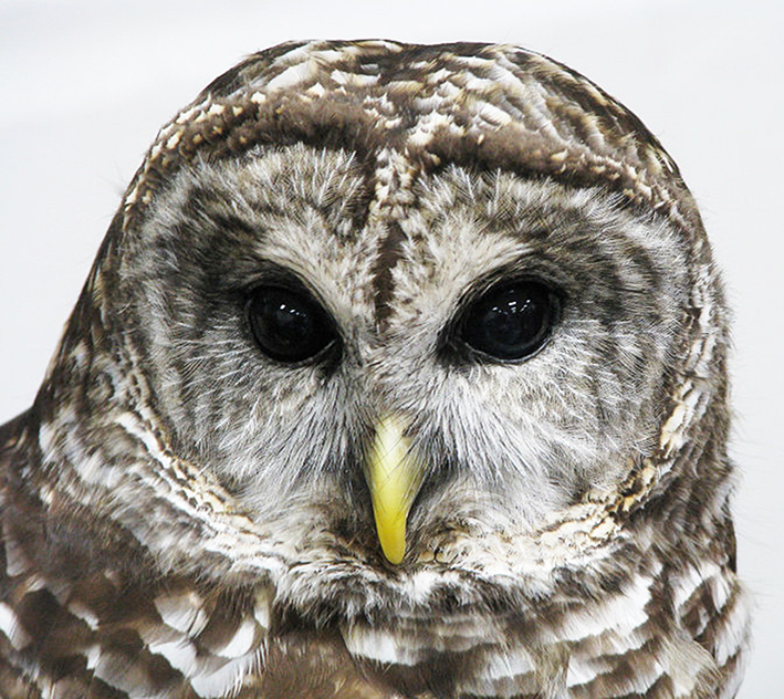 Face of Barred owl