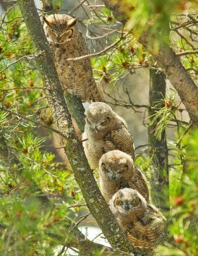 horned mother owl with three owlets
