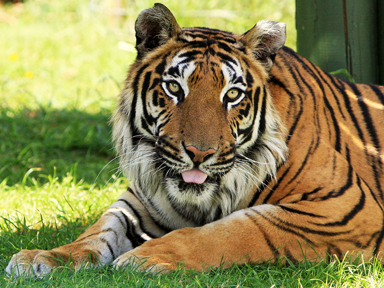 You can see the tigers tongue