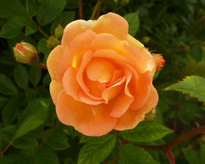 wonderful orange rose and rose buds