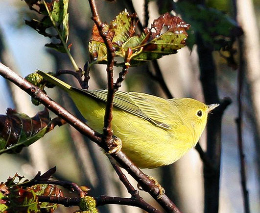 Yellow warbler close up