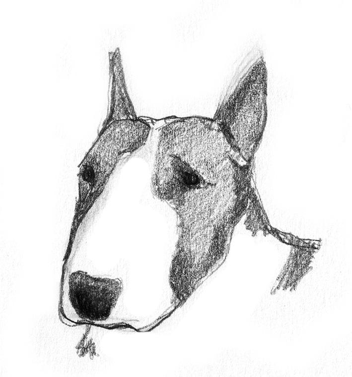 pencil sketch of bull terrier