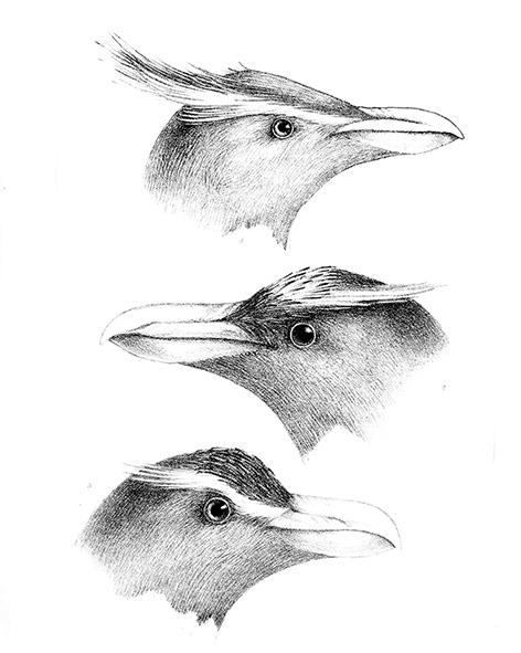 Macaroni penguin drawing of head