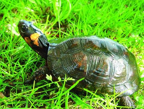 Bog turtle in grass
