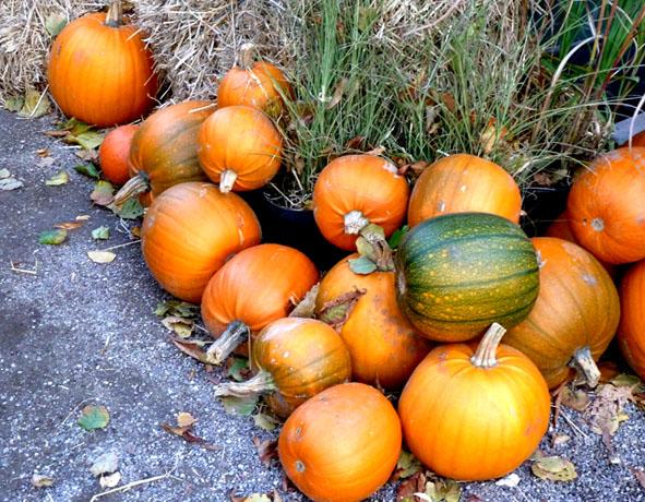 loads of pumpkins for halloween