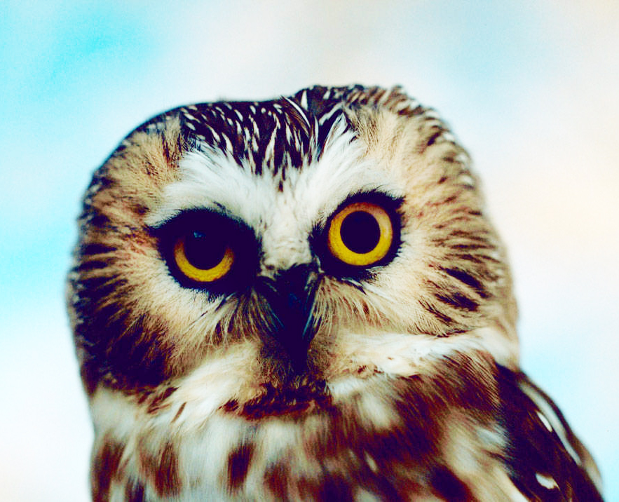 face of Saw whet owl