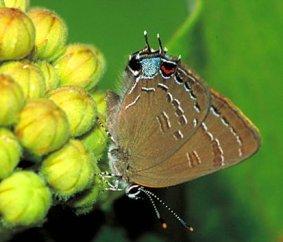 Saturium Edvardsii butterfly photo