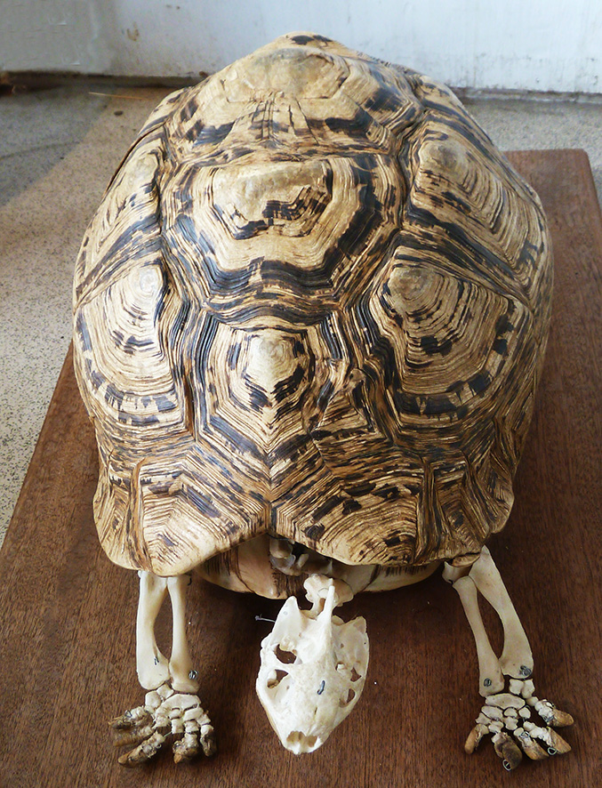 turtle shell with turtle skeleton