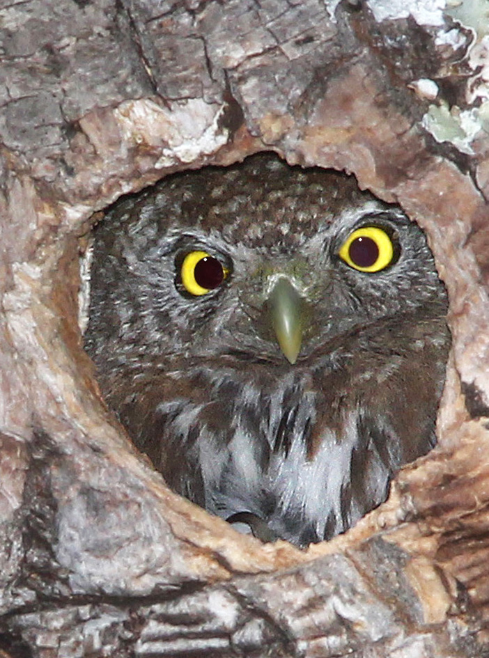 pygmy owl in nest looking out