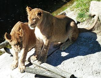 two big lion cubs big photo