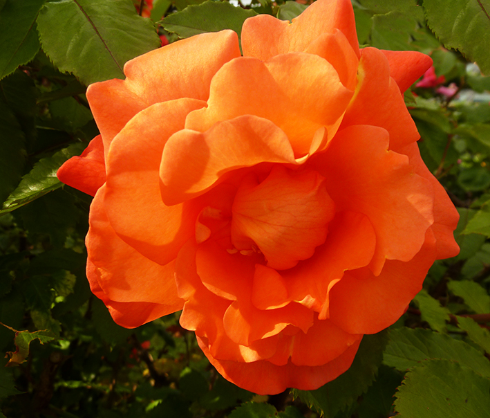 orange rose picture in garden